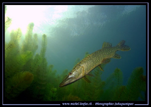 Pike Fish on the hunt... :O)... by Michel Lonfat 